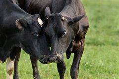 Zwei Kühe im Feldabschluß oben stockbild