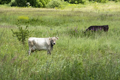 Zwei Kühe lassen in der Wiese unter dem grünen Gras weiden Stockfotografie