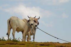 Zwei Kühe mit Himmel-Hintergrund Stockfotos