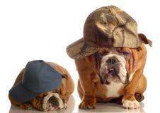 Zwei kühle Bulldoggen lizenzfreie stockfotos