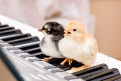 Zwei Küken mit den offenen Schnäbeln auf den Klavierschlüsseln Ausführung eines Liedes stockbilder