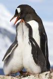Zwei Küken und weibliche Gentoo-Pinguine zur Fütterungszeit Stockfotografie