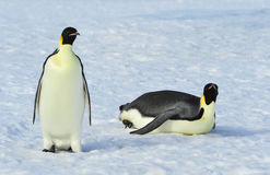 Zwei Kaiser-Pinguine auf dem Schnee Stockbild