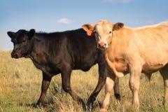 Zwei Kalbfleisch-Kälber in einer Sommer-Weide Lizenzfreie Stockfotos