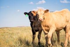 Zwei Kalbfleisch-Kälber in einer Weide Stockfotografie