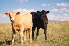 Zwei Kalbfleisch-Kälber zusammen in einer Weide Lizenzfreie Stockfotos