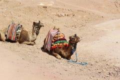 Zwei Kamele in Ägypten-Wüste Stockbilder