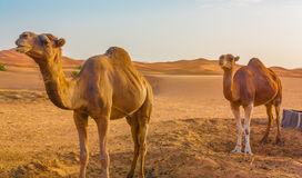 Zwei Kamele in der Wüste Lizenzfreies Stockbild