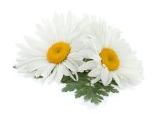 Zwei Kamillenblumen mit Blättern Lizenzfreie Stockfotos