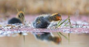 Zwei Kammblässhuhnküken schwimmen auf ruhigem Wasserteich lizenzfreie stockfotografie