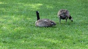 Zwei kanadische Gänse auf dem grünen Rasen-Sitzen und Essen stock footage
