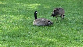 Zwei kanadische Gänse auf dem grünen Rasen-Sitzen und Essen stock video footage