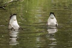 Zwei kanadische Gänse, die für Nahrung in einem See sich ruckartig bewegen stockfotografie