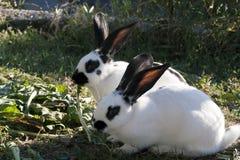 Zwei Kaninchen Stockbilder