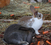 Zwei Kaninchen auf dem Bauernhof Stockbild
