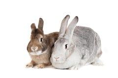 Zwei Kaninchen auf einem weißen Hintergrund Lizenzfreie Stockfotos