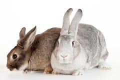 Zwei Kaninchen auf einem weißen Hintergrund Stockfoto