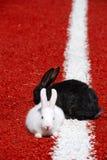 Zwei Kaninchen auf einer Rennbahn   Stockbild