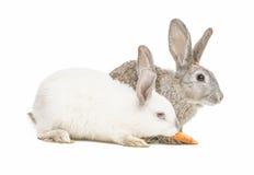 Zwei Kaninchen, die eine Karotte essen Stockbilder