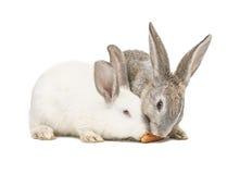 Zwei Kaninchen, die eine Karotte essen Lizenzfreie Stockfotos