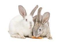 Zwei Kaninchen, die eine Karotte essen Stockfotos