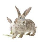 Zwei Kaninchen, die Karottenblätter essen Lizenzfreie Stockfotos
