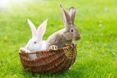 Zwei Kaninchen im Weidenkorb Stockbild