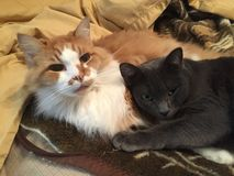 Zwei Katzen auf Tan Blanket Stockfoto