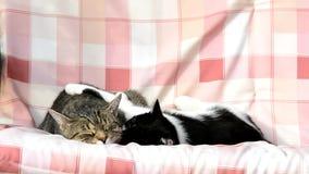 Zwei Katzen, die auf einem Schwingen schwingen stock footage
