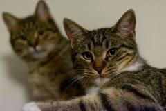 Zwei Katzen, die entlang der Kamera anstarren stockfotos