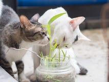 Zwei Katzen, die Gras essen Stockbilder