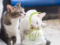 Zwei Katzen, die Gras essen Stockfotos