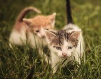 Zwei Katzen im Gras, man geht Stockbild