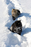 Zwei Katzen im Schnee Stockfotografie