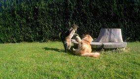 Zwei Katzen-Kämpfen stock video