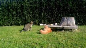 Zwei Katzen-Kämpfen stock footage