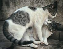 Zwei Katzen-Kämpfen Stockbild