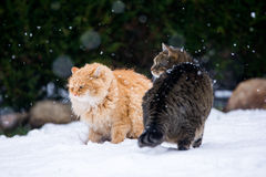 Zwei Katzen-Kämpfen Lizenzfreie Stockfotografie