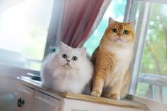 Zwei Katzen sind Liebhaber Lizenzfreies Stockfoto