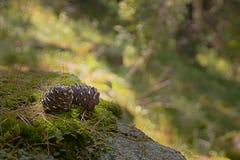 Zwei Kiefernkegel auf dem Waldmoos stockbilder