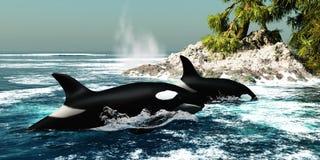 Schwertwal-Killerwale