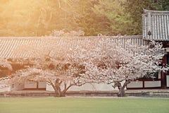 Zwei Kirschblüten-Kirschblüte-Bäume im japanischen Garten mit Morgen beleuchten Lizenzfreies Stockfoto