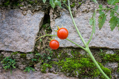Zwei Kirschtomaten in der Steinwand Lizenzfreies Stockbild