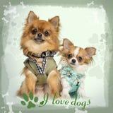 Zwei kleideten oben sitzenden Chihuahua, die auf entworfenem Hintergrund stockbild
