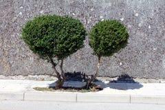 Zwei kleine Bäume, die vom kleinen Flecken des Landes innerhalb des Steinbürgersteigs wachsen Lizenzfreie Stockfotografie