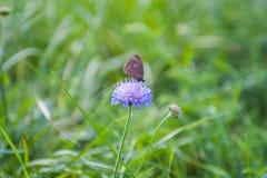 Zwei kleine blaue Schmetterlinge, die auf heller sonniger gelber Wiese sitzen lizenzfreie stockfotografie