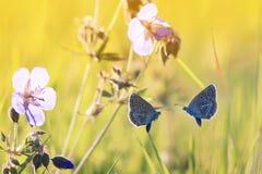 Zwei kleine blaue Schmetterlinge fliegen in Richtung zu einander Stockfotografie