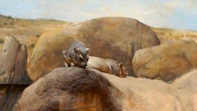 Zwei kleine braune Säugetiere stock footage
