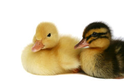 Zwei kleine Enten zusammen Lizenzfreies Stockbild