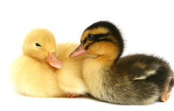 Zwei kleine Enten zusammen auf einem weißen Hintergrund Lizenzfreie Stockbilder